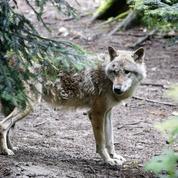 Intempéries: un parc à loups détruit par les crues dans les Alpes-Maritimes