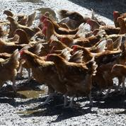 Les volaillers tricolores désarmés face aux importations massives