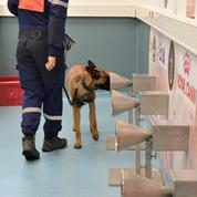 Avec les chiens renifleurs de Covid-19, entraînés à repérer les personnes positives