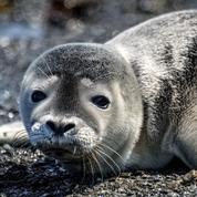 Des pêcheurs au tribunal pour des phoques décapités dans le Finistère