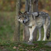 Intempéries : un des loups errants du parc Alpha retrouvé et capturé