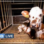 Saône-et-Loire: un veau retrouvé mort et mutilé