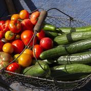 Un virus s'attaquant aux courgettes, concombres et melons détecté en France