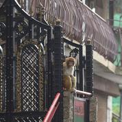 Des milliers de singes terrorisent une ville touristique indienne