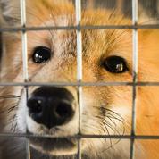 Des renards tués à l'arbalète à Londres, Scotland Yard enquête