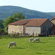 Allier : un veau retrouvé mort et mutilé