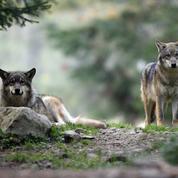 Tir de défense : un loup abattu en Saône-et-Loire