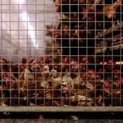 Grippe aviaire : premier foyer dans un élevage au Danemark, 25.000 volailles abattues