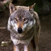 Trois loups échappés dans les Deux-Sèvres, des brebis attaquées en Charente-Maritime