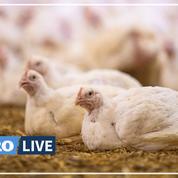 Conditions des animaux et des travailleurs : nouvelle enquête de L214 dans un élevage de poulets