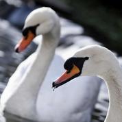 Grippe aviaire : 120 cygnes retirés des canaux de Bruges pour être confinés