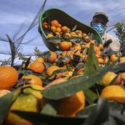 Corse : des producteurs offrent 3 tonnes de clémentines au personnel soignant