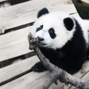Le premier panda géant né aux Pays-Bas fait ses débuts publics