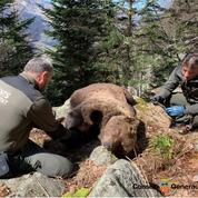 Mort de l'ours Cachou : une personne arrêtée en Espagne