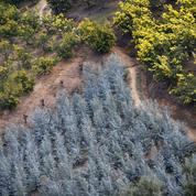 Var : des voleurs de branches d'eucalyptus mettent en péril l'avenir de la filière