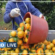 En Corse, les saisonniers marocains ont sauvé la récolte des clémentines