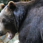 L'ourse Sarousse tuée par un chasseur dans les Pyrénées espagnoles