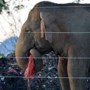 Le Sri Lanka veut empêcher les éléphants de manger les déchets en plastique
