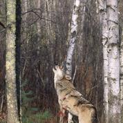 Deux-Sèvres : nouvelle attaque d'un troupeau de brebis par un loup échappé d'un refuge