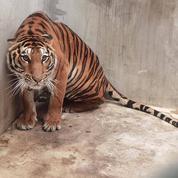 Soupçons de trafic d'animaux : un tigre décapité retrouvé dans un zoo en Thaïlande