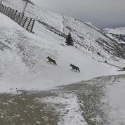 En Haute-Savoie, des loups profitent du calme d'un domaine skiable désert
