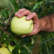 Les pommes françaises vont-elles disparaître de nos compotes ?