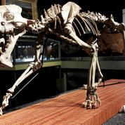 Un fossile de tigre à dents de sabre vendu pour près de 70.000 euros à Genève