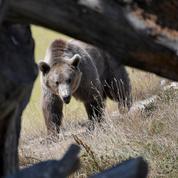 Le phénomène des ours assassinés dans les Pyrénées inquiète les associations
