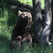 Pyrénées : l'ours Cachou a été empoisonné et le suspect principal est un garde forestier