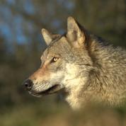 Charente-Maritime : un des trois loups échappés a été abattu