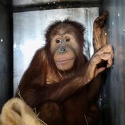 Thaïlande : deux orangs-outans de Sumatra volés sont de retour en Indonésie