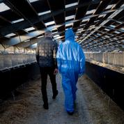 Covid-19 : le Danemark adopte une loi interdisant l'élevage des visons pour un an