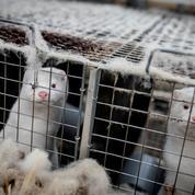 Extermination des cheptels, élevages interdits : le Danemark dans la crise des visons
