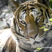 Oise : le dresseur des 10 tigres saisis demande leur restitution