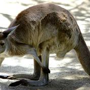 Dordogne : un kangourou aperçu sur le bord de la route