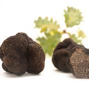 Le vol de truffes, un fléau en période de fêtes