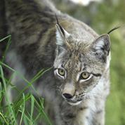 Braconnage : un lynx boréal tué par arme à feu dans le Doubs