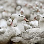 Grippe aviaire : la Chine suspend les importations de volaille française