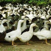 Grippe aviaire : «hors de contrôle» dans le Sud-Ouest