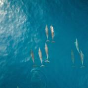Île de Ré : échoués, 29 dauphins ont été secourus