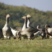 Grippe aviaire : doublement du nombre de foyers dans le Sud-Ouest