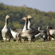 Grippe aviaire : «des centaines de milliers» de canards vont encore être abattus, prédit Denormandie