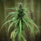 Lancement d'une consultation citoyenne sur le «cannabis récréatif»