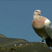 L'incroyable histoire du pigeon prétendument américain qui aurait enfreint la quarantaine australienne