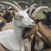 Dijon : trois personnes interpellées pour l'abattage illégal de chèvres
