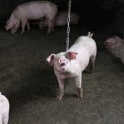 Côtes-d'Armor : images «insoutenables» de cochons en putréfaction dans un élevage
