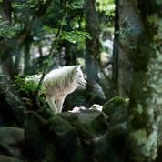 Des loups s'échappent d'un parc animalier : deux sont toujours recherchés