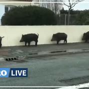 Vendée : une dizaine de sangliers se baladent dans un quartier pavillonnaire