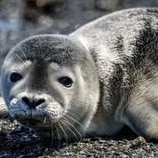 Baie de Somme : un bébé phoque gris est né fin décembre