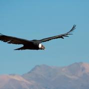 Enquête en Bolivie après la mort de 35 condors